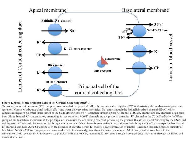 Chronic Hyperkalemia: Evolving Options for a Common Problem